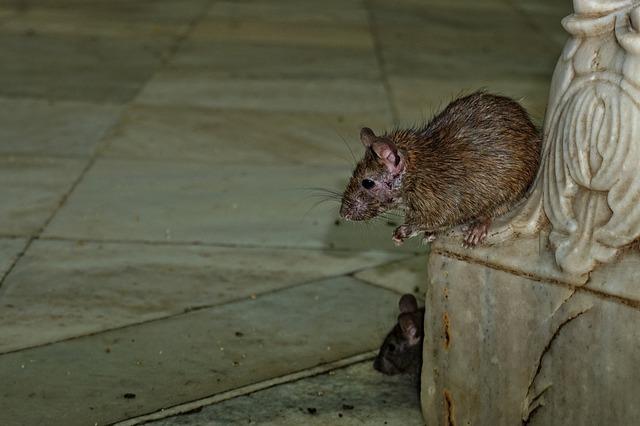 Schädlingsbekämpfung - Maus